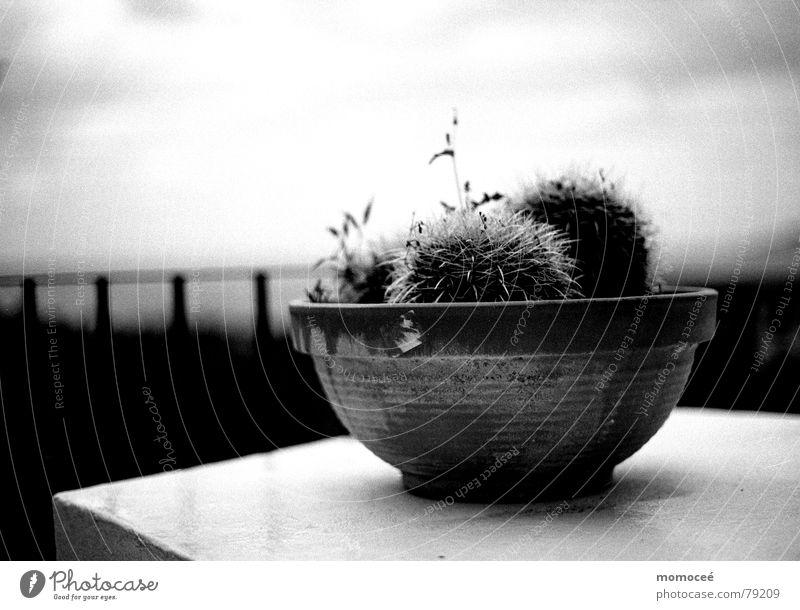 der schalenkaktus Natur Himmel Meer Blume Ferien & Urlaub & Reisen Wolken Ferne dunkel Freiheit See Regen Landschaft Kunst Tisch Schmerz Amerika