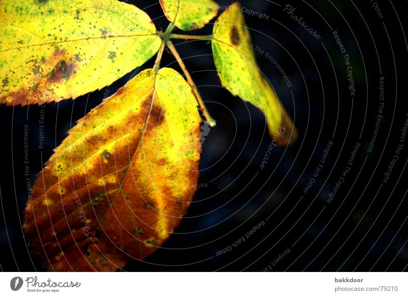Dezemberblatt Natur alt Pflanze grün Farbe Sonne Baum Blatt Freude Ferne Winter dunkel schwarz kalt Umwelt gelb