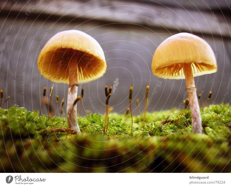 Kleine Sonnenschirmchen Nahaufnahme klein Pflanze Umwelt Makroaufnahme Mikroorganismen grün Wachstum Herbst gelb Natur Mauer Botanik Wand new world sci-fi Pilz