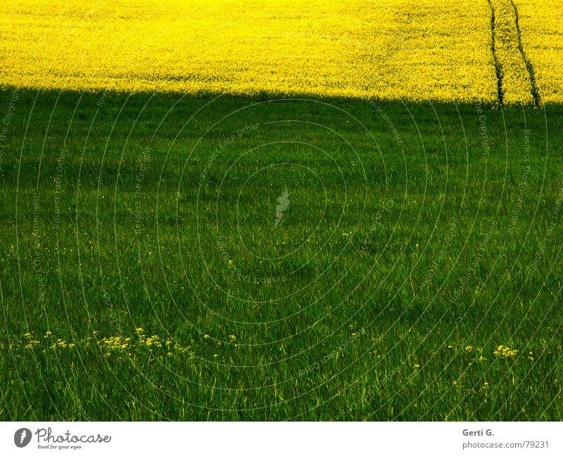 Rechtsweg Mai Rapsöl Fluchtweg Notausgang Fahrweg Ferne rechts grün gelb Gras Wiese Sommer Landwirtschaft Feld Blume Blüte Ausweg mehrfarbig losgehen Park