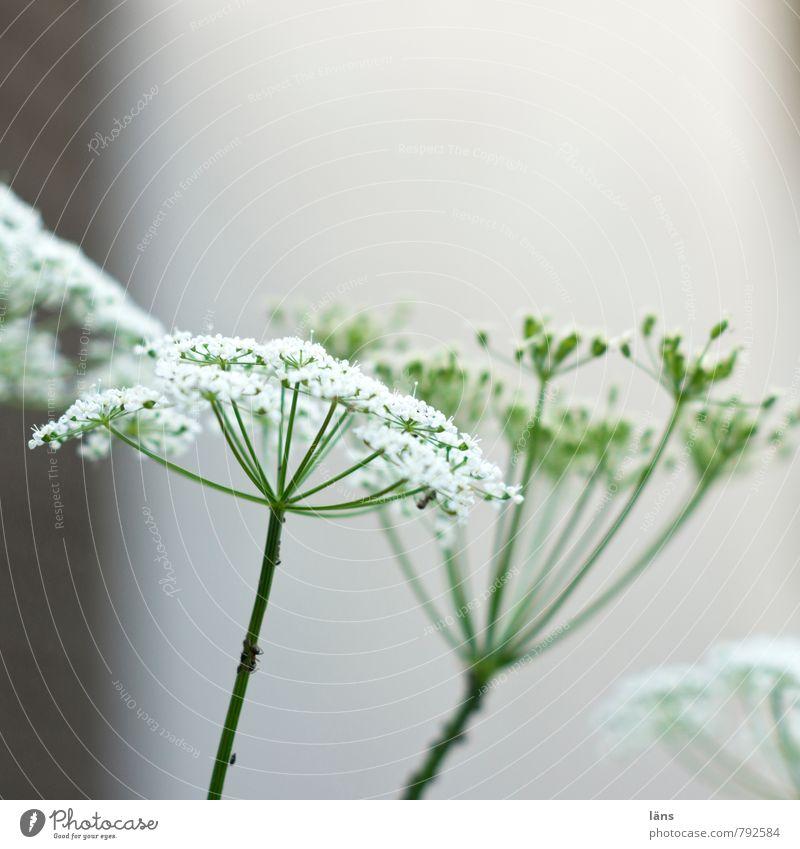Giersch Pflanze grün weiß Sommer Blüte Wachstum Blühend Doldenblüte