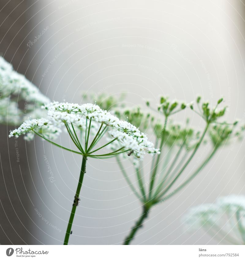 Giersch Pflanze Sommer Blühend grün weiß Doldenblüte Blick nach oben Wachstum Blüte Menschenleer Textfreiraum oben