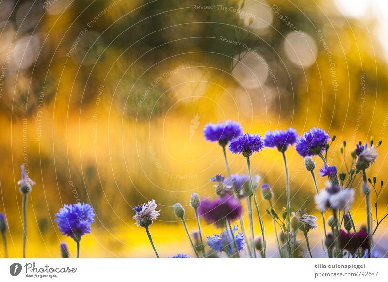 4:1 Umwelt Natur Pflanze Sonnenlicht Blüte Garten Wiese Wachstum natürlich blau gelb Farbe Komplementärfarbe Unschärfe Kornblume Stengel Blume violett glänzend