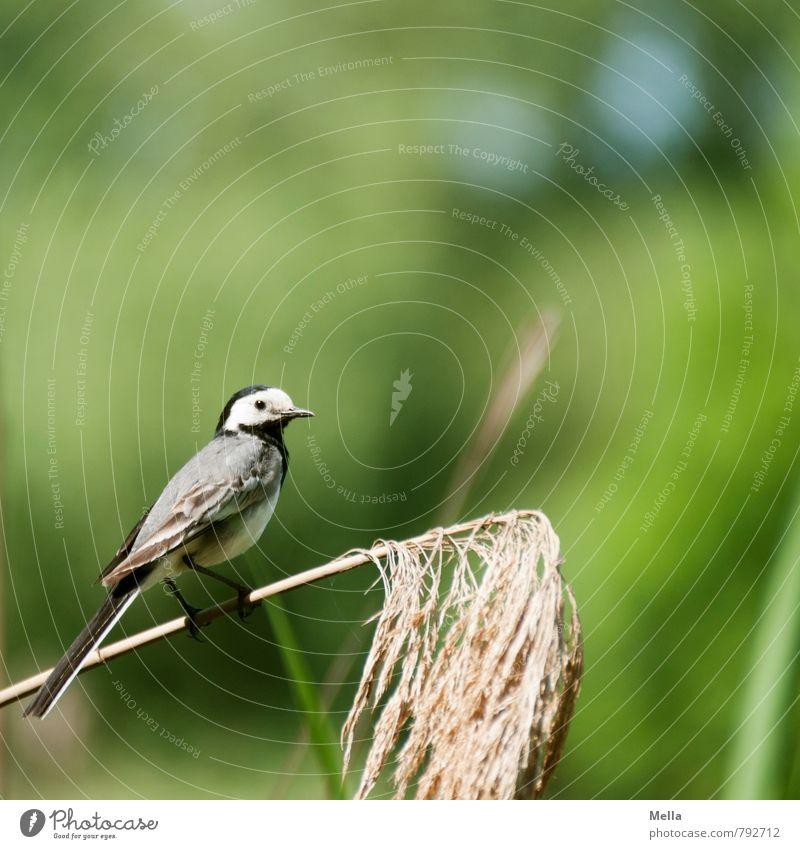 Wikipedia-Fotografie Umwelt Natur Pflanze Tier Frühling Sommer Gras Wildtier Vogel Bachstelze 1 hocken Blick sitzen frei klein natürlich niedlich grün Leben