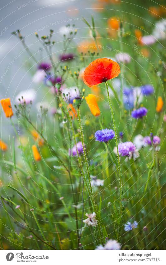 blümerant Pflanze Sommer Blume Gras Blüte Wiese natürlich schön wild mehrfarbig Natur Mohn Mohnblüte Unschärfe Naturwuchs Farbfoto Außenaufnahme