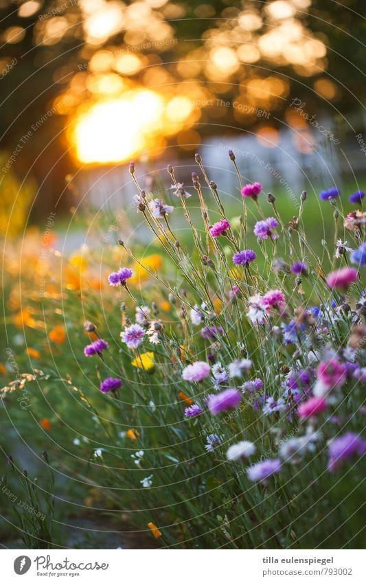 Sonnige Aussichten für 2015 ... Natur Pflanze Sommer Blume Umwelt Wiese natürlich Garten Park leuchten Blühend Schönes Wetter sommerlich Blumenwiese Kornblume