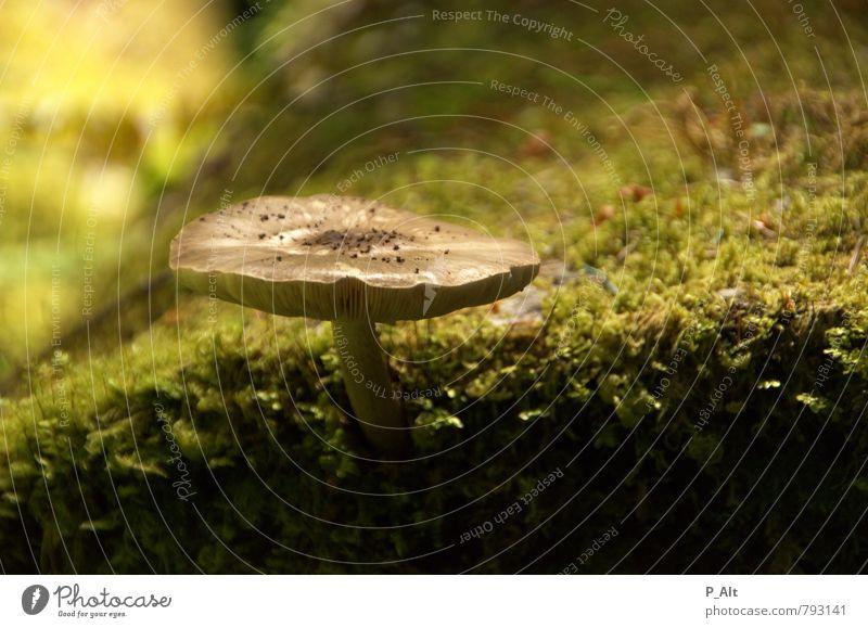 Magic Umwelt Natur Pflanze Erde Sommer Idylle Wald Waldboden Pilz Baumstamm Moos grün Tiefenschärfe Farbfoto Außenaufnahme Menschenleer