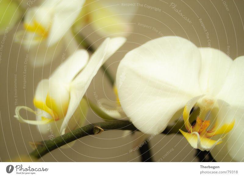 Orchidee Natur Blume Pflanze Blüte Botanik Stempel Blumenhändler Blütenstempel