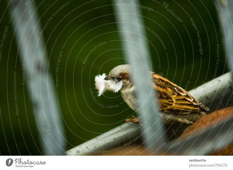 Neubau Spatz Haussperling Vogel Nest Nestbau Feder Dach Dachrinne Material mausern Gelege Brutpflege Tiefenschärfe Schwache Tiefenschärfe Unschärfe Natur Tier