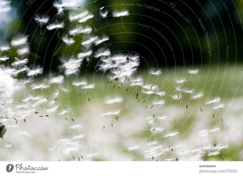 Flying Dandelion Spermien Sommer Löwenzahn Wunsch gleiten grün Luft Pflanze Licht zart Grünfläche Samen weich Gesundheit Freude dandelion fliegen sanft Wind