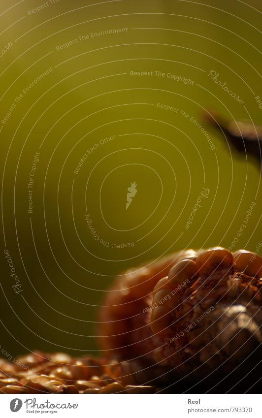 Mais Lebensmittel Getreide Natur Luft Sommer Pflanze Grünpflanze Nutzpflanze Maiskorn Maiskolben Feld verblüht Wachstum trocken gelb grün schwarz Beginn reif