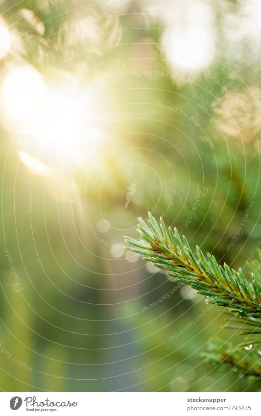 Natur grün Sonne Baum Wald natürlich nass Ast Nadelbaum Finnland nordisch Fichte