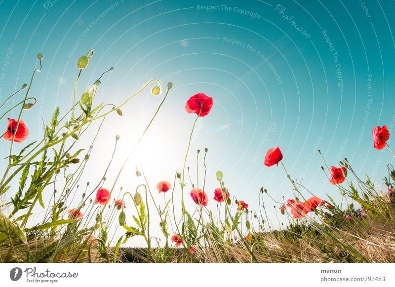 poppies in the field Natur blau Pflanze Sommer Sonne rot Blume Landschaft Frühling natürlich Feld Sträucher Schönes Wetter Wolkenloser Himmel Umweltschutz