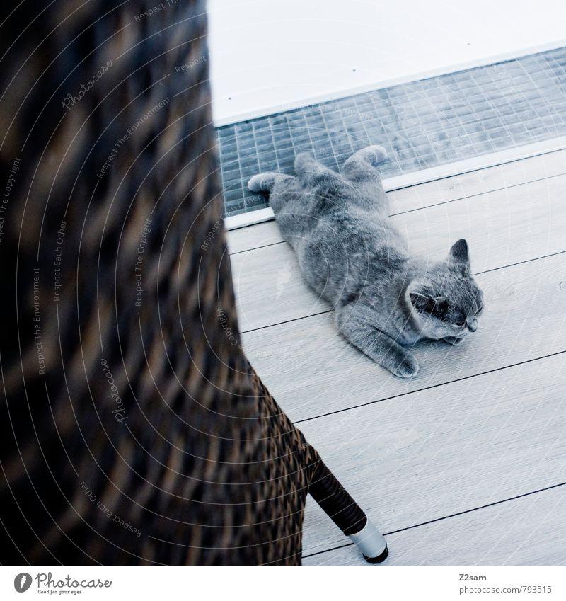 abflacken Tier Katze 1 Erholung genießen liegen schön kalt klein Sauberkeit grau Gelassenheit ruhig Tierjunges Haustier Kot Wohnung Terrasse Holzfußboden Fell