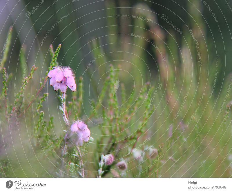 !Trash! | Glockenheide... Umwelt Natur Landschaft Pflanze Sommer Blume Blüte Wildpflanze Heidekrautgewächse Moor Sumpf Blühend stehen Wachstum klein natürlich
