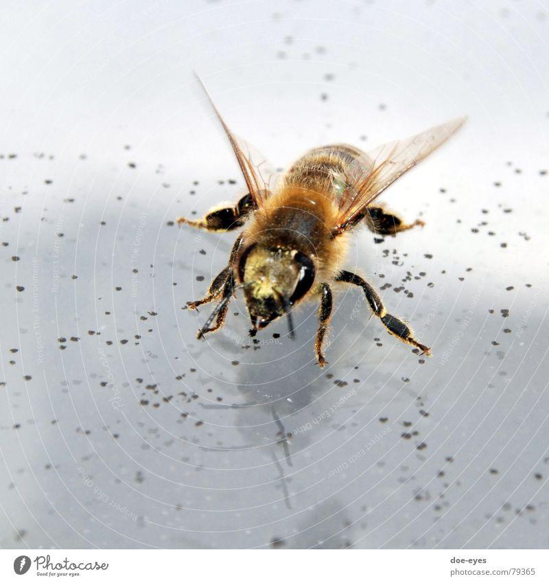 Biene Insekt fleißig Fell Tier schwarz-gelb Makroaufnahme Flügel