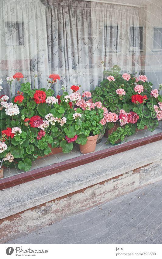 blumenfenster Pflanze Blume Blatt Blüte Topfpflanze Pelargonie Haus Gebäude Fenster Freundlichkeit Fröhlichkeit natürlich schön Vorhang Bürgersteig