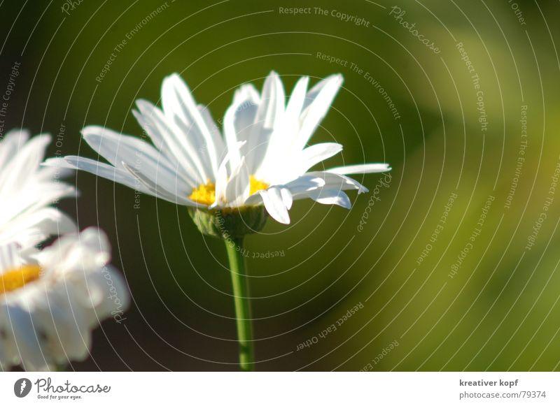 Weiße Braut Gänseblümchen Blume weiß grün Frühling Blüte margarite Natur Margerite
