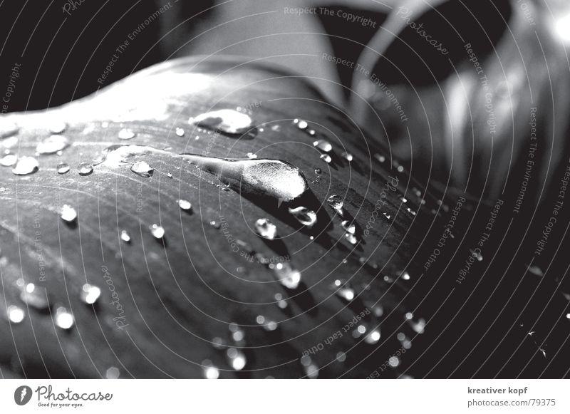Tropfen Blatt Wassertropfen schillernd scharf-unscharf Regen Schwarzweißfoto