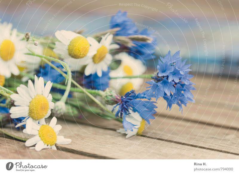 WiesenBlümchen Sommer Blume Blühend liegen natürlich blau weiß Lebensfreude Kornblume Kamillenblüten Holztisch Wiesenblume Farbfoto Menschenleer