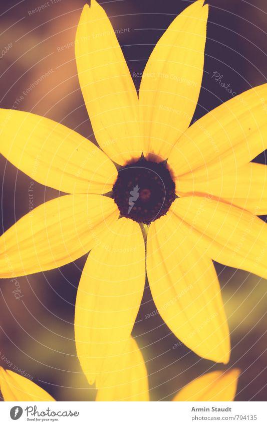 Gelbe Blume Natur Frühling Sommer Pflanze Wachstum ästhetisch authentisch Gesundheit natürlich retro gelb Stimmung Duft Umwelt altehrwürdig Farbfilter Anschnitt