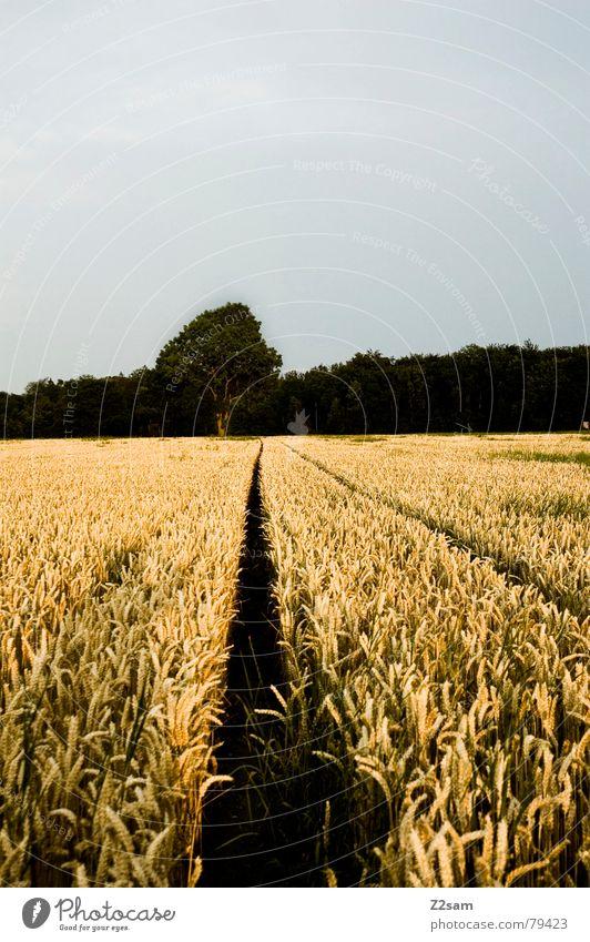 the way Natur Baum grün Sommer ruhig gelb Ferne Wald Wege & Pfade Feld Getreide Mais geradeaus