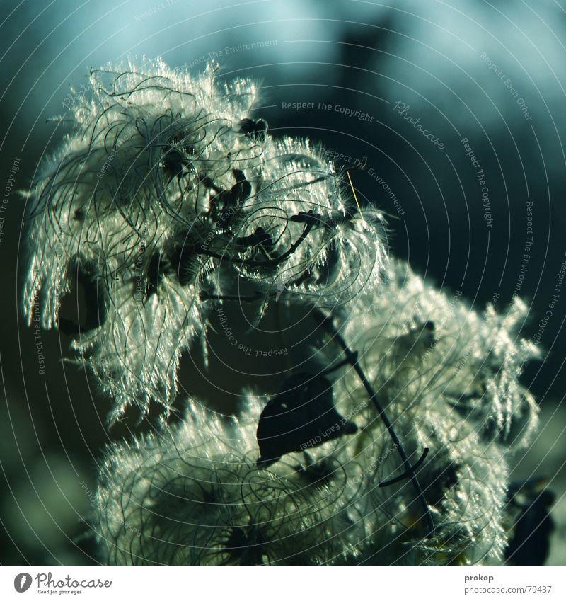 Feinheit im Gegenwind Plüsch Kitzel Blume Pflanze zart Wolle Zärtlichkeiten weich Tiefenschärfe Hippie Anmut zerbrechlich geschmeidig zierlich Botanik