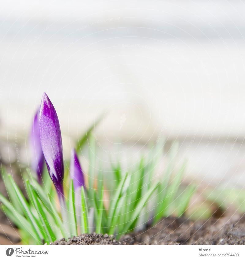 verletzlich Natur Pflanze Erde Frühling Blume Blüte Krokusse Frühlingsblume Frühlingsblumenbeet Blütenknospen Blühend Wachstum hell klein grün violett weiß
