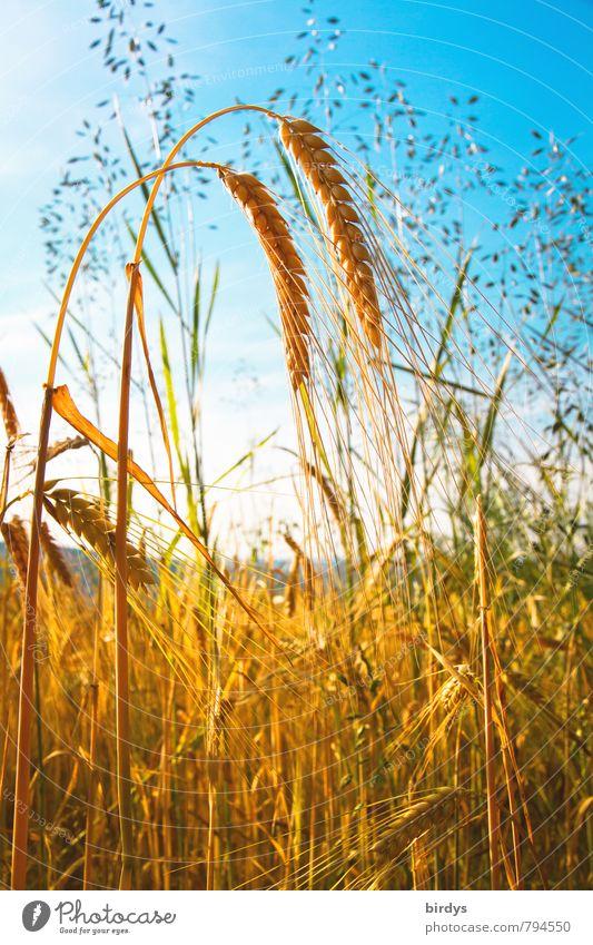 Doppelkorn Ernährung Bioprodukte Landwirtschaft Forstwirtschaft Natur Himmel Wolkenloser Himmel Sommer Nutzpflanze Gerstenähre Ähren Getreidefeld Feld Duft