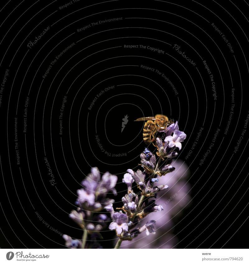 Sammelaktion Honig Honigbiene Frühstück Bioprodukte Imker Imkerei Natur Pflanze Tier Blume Biene Essen tragen fleißig Ausdauer Insekt Lavendel Farbfoto