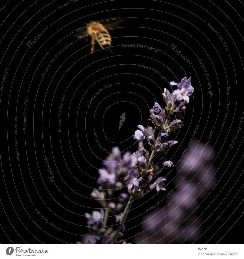 auf zur nächsten Natur Pflanze Blume Tier Essen fliegen Insekt Bioprodukte Biene Frühstück tragen Ausdauer Lavendel fleißig Honig Honigbiene