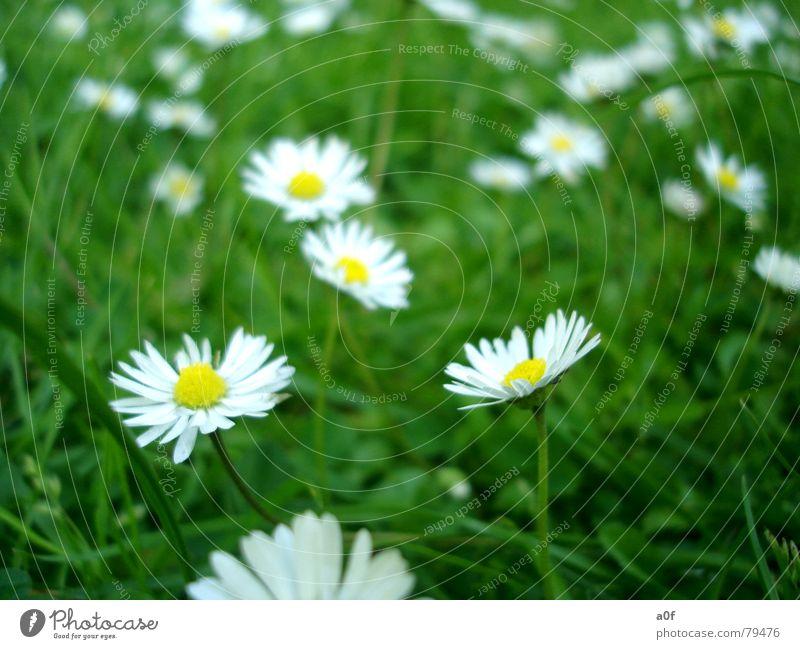 little flowers Blume Frühling grün Gänseblümchen Garten Rasen Nahaufnahme Pflanze