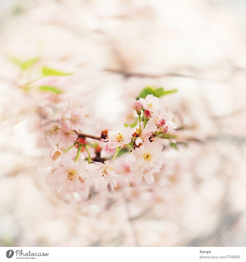 Mit Schwung in den Frühling Natur Pflanze Baum Blüte Garten Blühend Duft grün rosa weiß Frühlingsgefühle Vorfreude Liebe Verliebtheit Romantik schön Bewegung