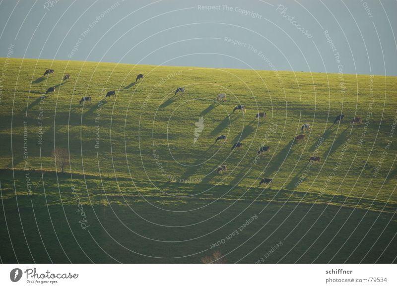 Schattenwurf Schwarzwald Wiederkäuer Kuh Wiese grün Abend verdunkeln Schattendasein Bergwiese Gras Garten Park weidevieh Weide Rasen Natur