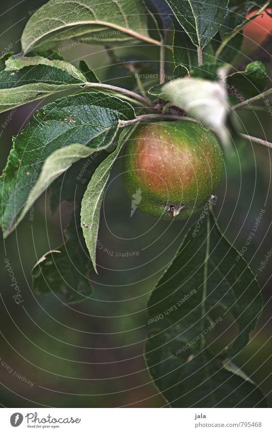 apfel Umwelt Natur Pflanze Baum Blatt Grünpflanze Nutzpflanze Frucht Apfelbaum ästhetisch frisch Gesundheit lecker natürlich Farbfoto Außenaufnahme Menschenleer