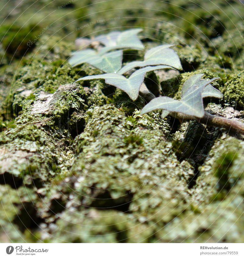 Efeu mit Baum Ranke grün Froschperspektive Baumrinde Baumstamm Blatt Eiche Makroaufnahme Nahaufnahme Herbst Furche Moos