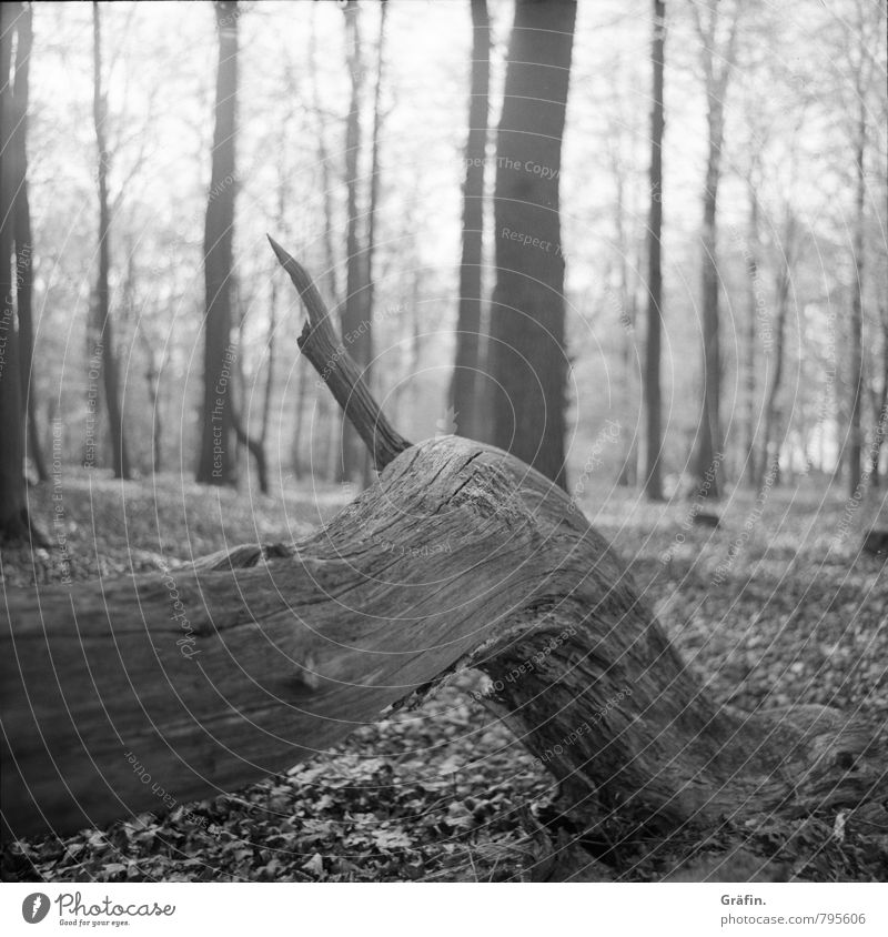 Trister Herbst Umwelt Natur Baum Baumstamm Wald alt liegen warten dunkel grau schwarz weiß geduldig ruhig Einsamkeit Idylle Umweltschutz Wachstum