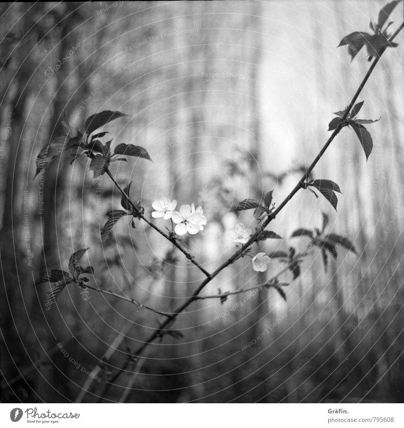 Erster Frühlingsgruß Umwelt Pflanze Baum Blatt Blüte Grünpflanze Wald Blühend Wachstum Kitsch niedlich grau schwarz weiß Vorfreude Optimismus Umweltschutz