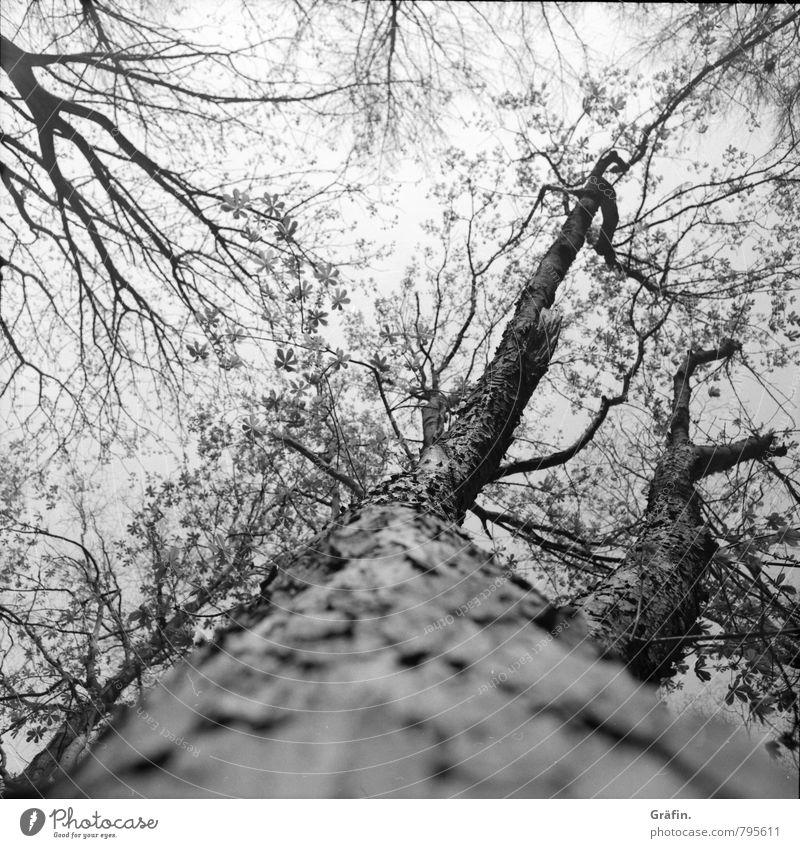 Baumkrone Umwelt Natur Pflanze Frühling Baumstamm Wald Blühend entdecken Wachstum gigantisch groß Unendlichkeit grau schwarz weiß Frühlingsgefühle Kraft Leben