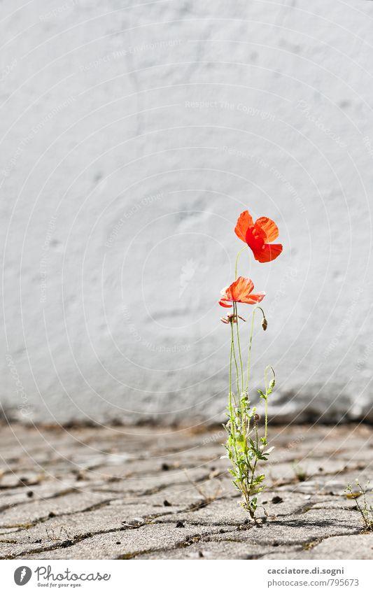 Anpassungsfähig Umwelt Pflanze Sommer Schönes Wetter Wärme Blume Mohn Mauer Wand Straße Blühend leuchten einfach Freundlichkeit Fröhlichkeit frisch natürlich