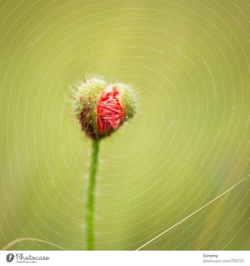 Ich will raus! Natur Pflanze Frühling Sommer Blume Blüte Blütenknospen Mohnblüte Wiese Feld Blühend Wachstum klein grün rot Lebensfreude Frühlingsgefühle zart