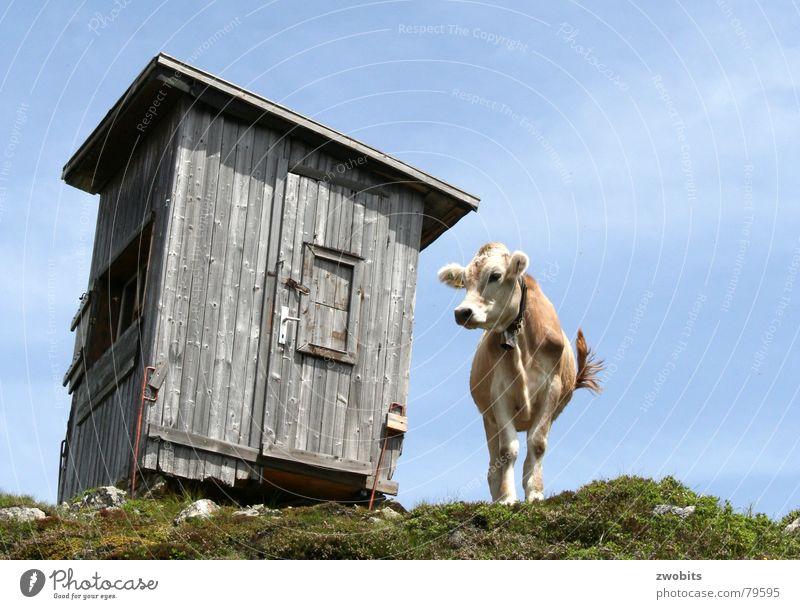 Hier regier ich! I Hochmut Bergbewohner Österreicher Kuh Sommer Froschperspektive Haus alpin Wiese Berge u. Gebirge Hütte Himmel Stolz Alpen Natur blau