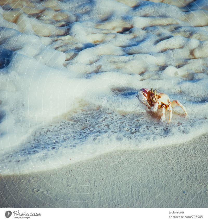 krabbeln im nassen Meeresfrüchte Sand Wärme Indischer Ozean Brandung Kenia Wildtier Krebstier 1 Tier authentisch Flüssigkeit frei Gesundheit kuschlig Kitsch