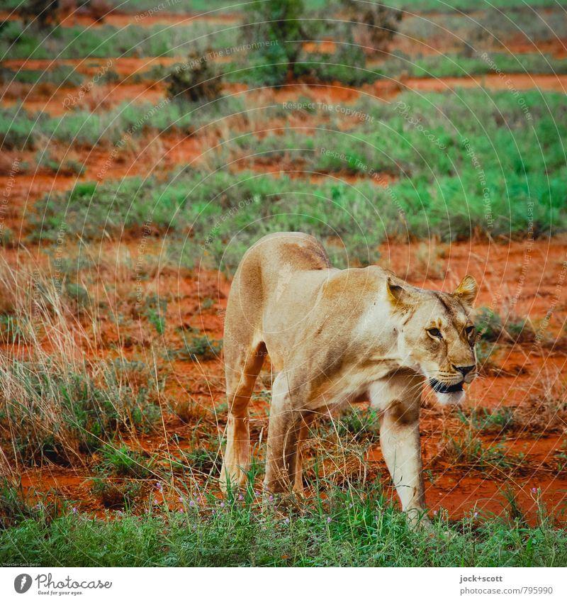 Pik Dame Ferne Safari Tier Sand Wärme exotisch Savanne Kenia Wildtier Tiergesicht Löwin 1 Bewegung gehen Jagd authentisch bedrohlich listig schön grün orange