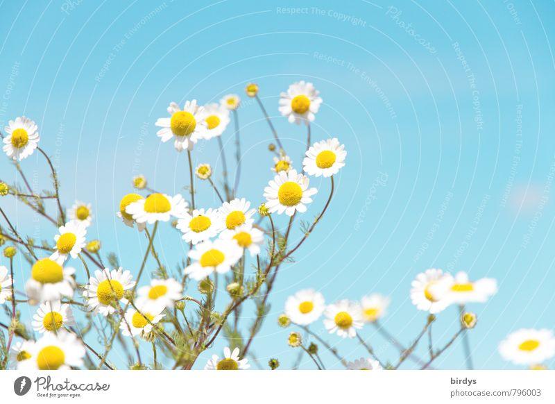 Kamille Wolkenloser Himmel Sommer Schönes Wetter Blüte Nutzpflanze Wildpflanze Kamillenblüten Blühend Duft ästhetisch frisch Gesundheit positiv schön blau gelb