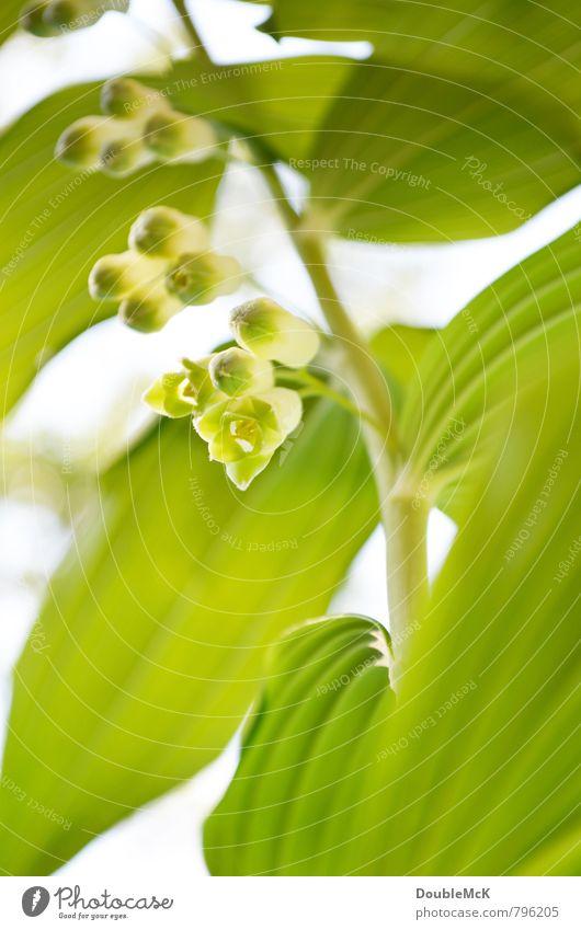 Chinesische Maiglöckchen Natur Pflanze Blume Blüte Grünpflanze Blühend frisch natürlich grün weiß Zufriedenheit Gelassenheit Erholung Leben Frühling hängen