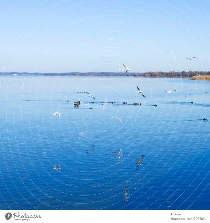 Flugverkehr Ferien & Urlaub & Reisen Landschaft Wasser Himmel Wolkenloser Himmel Schönes Wetter Seeufer Chiemsee Bayern Oberbayern Chiemgau Tier Vogel Blässhuhn