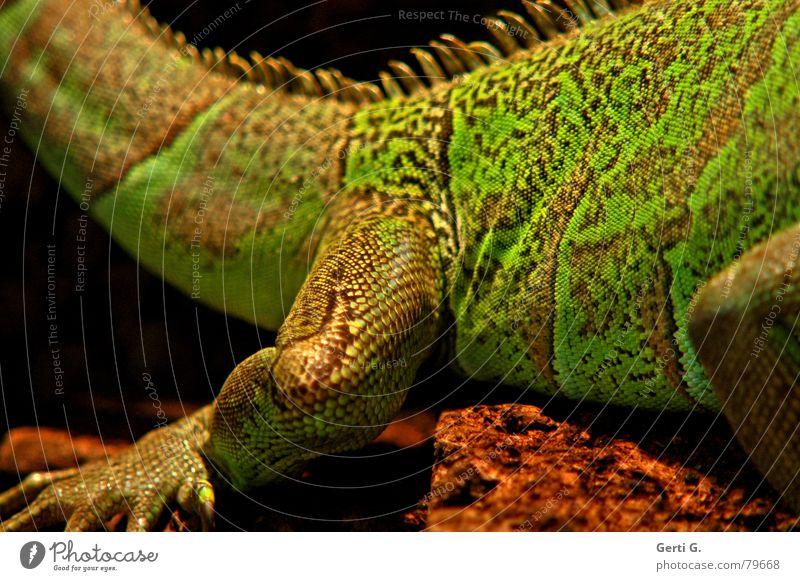 meine Haut, meine Extremitäten, mein Hinterteil Peitsche Leguane Reptil Dinosaurier Grüner Leguan Schwanz Echsen grün mehrfarbig braun Defensive ruhig Falte