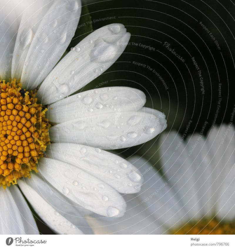 nass... Umwelt Natur Pflanze Sommer Regen Blume Blüte Margerite Blütenblatt Garten Blühend Wachstum ästhetisch authentisch schön gelb schwarz weiß einzigartig