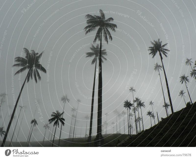 Palmenwald Nebelwald Baum Wald Berghang Wolken grau Pflanze Baumstamm Kolumbien Himmel trist schwarz weiß kalt trüb ungemütlich geheimnisvoll mystisch Herbst